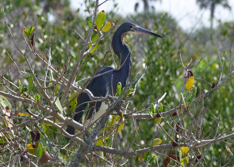 A tricolored heron.